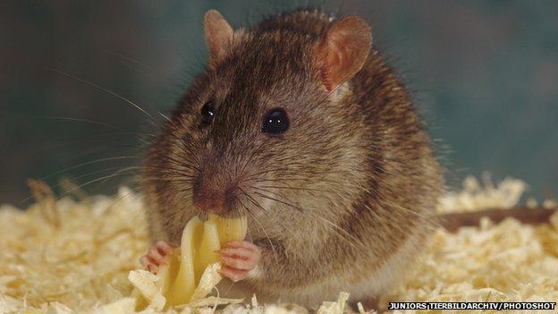 _75392778_rat_eating_pasta.jpg