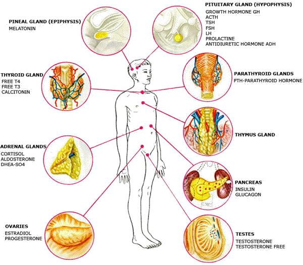 the-hormones-human-anatomy-hormones.jpg
