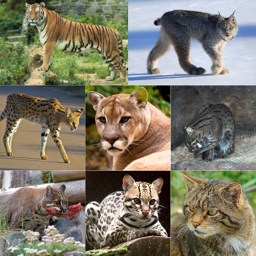 The_Felidae.jpg